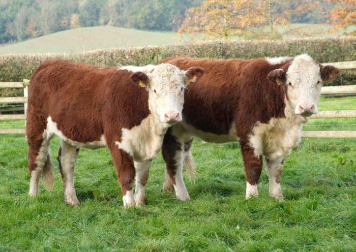 Особенности шведских пород коров