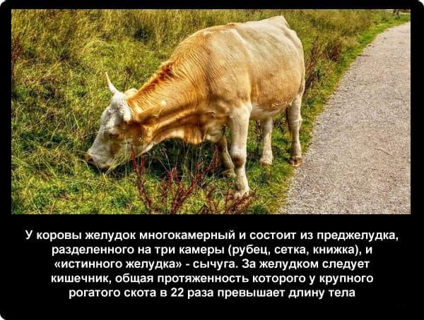 Чем лечится закупорка книжки у коровы?