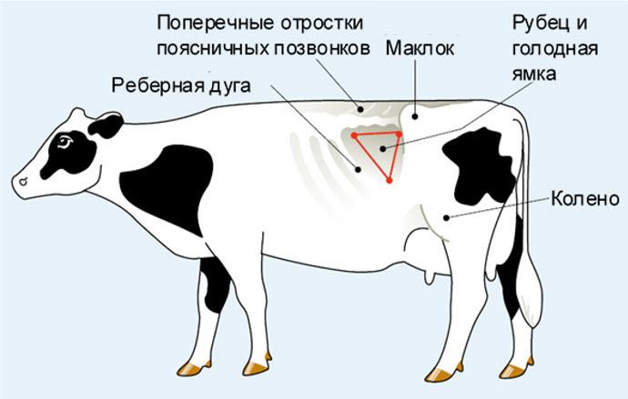 Где находится голодная ямка у коровы?