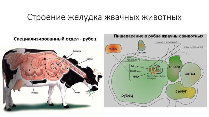 Где расположен рубец у коровы?