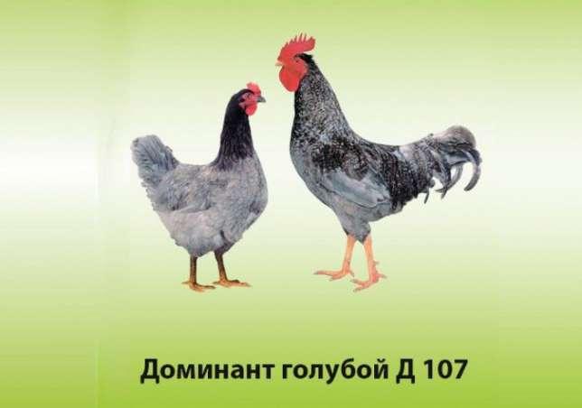 Характеристики пород голубых кур