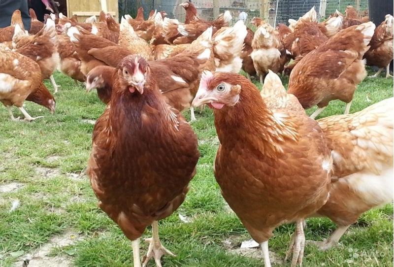 Цыплята хейсекс