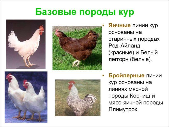 Распространённые мясные породы кур