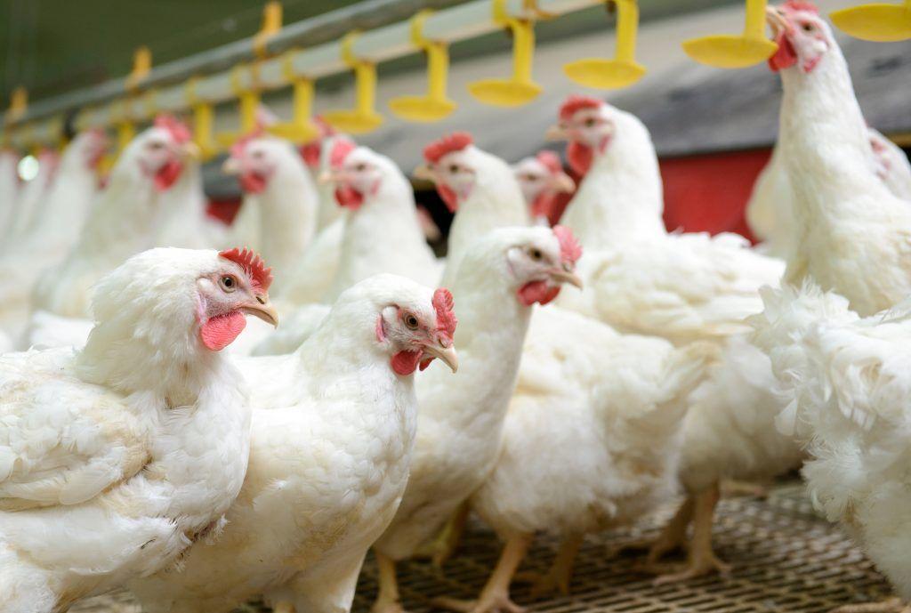 Выращивание цыплят - уход за цыплятами и кормление