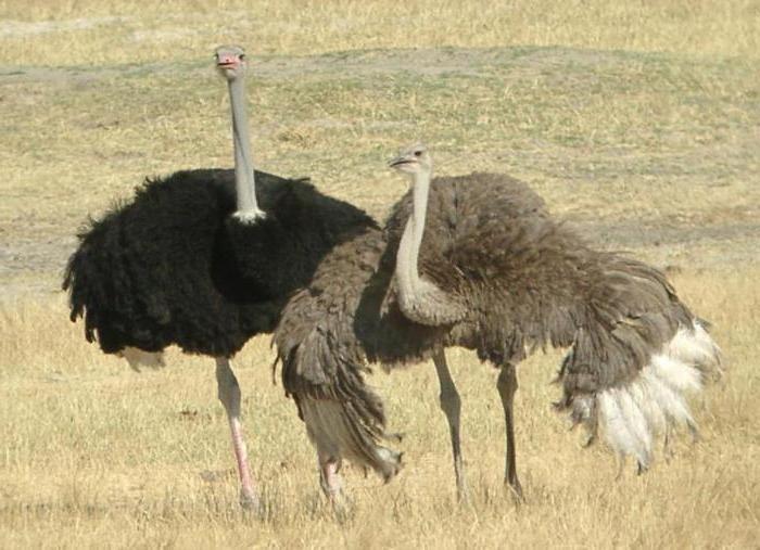 зародыш страуса