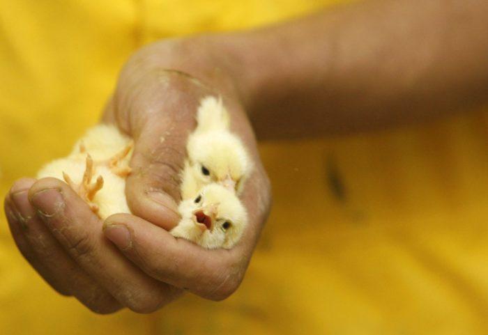 Способы определения пола цыплёнка