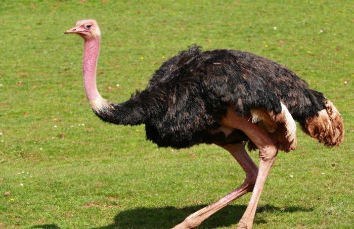 Какого цвета страус?
