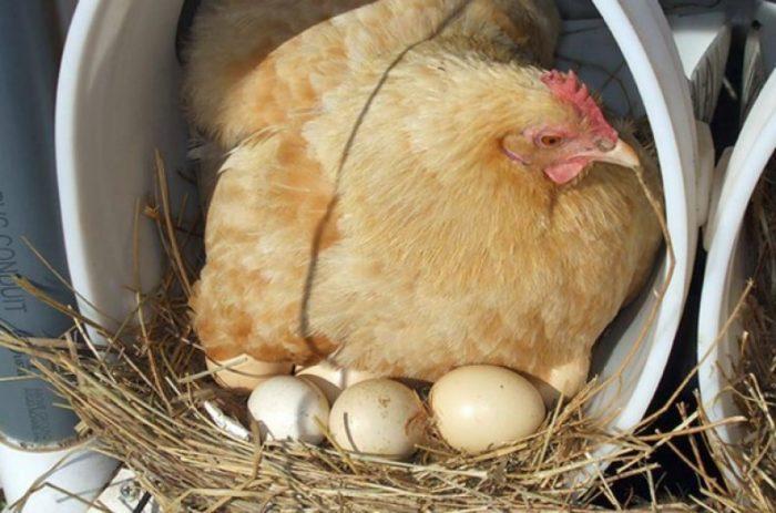 Какое количество дней курица высиживает яйца до цыпленка?