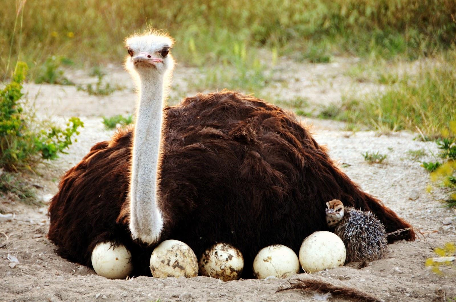 Сколько страус высиживает яйца