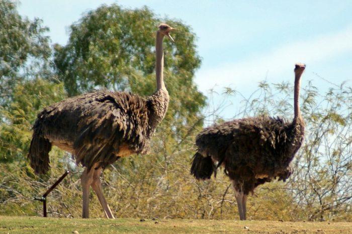 Самые известные виды страусов