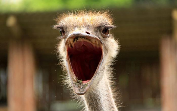 Какие звуки издаёт страус?