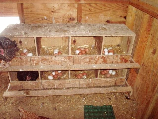 Как строят гнёзда для кур несушек?