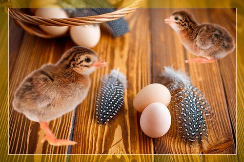 Как происходит инкубация цесарок?
