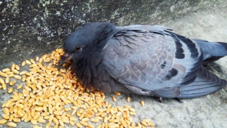 какие птицы едят семена льна