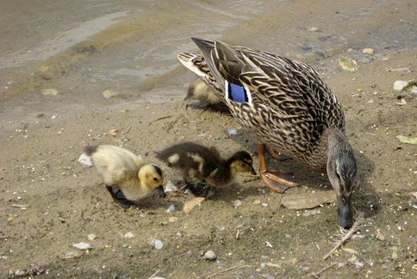 Дикие утки чем можно кормить зимой в пруду чем питаются в природе