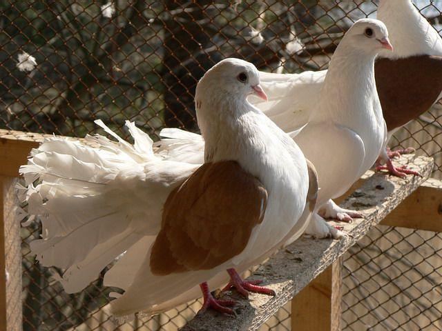 Как ухаживать за домашними голубями?