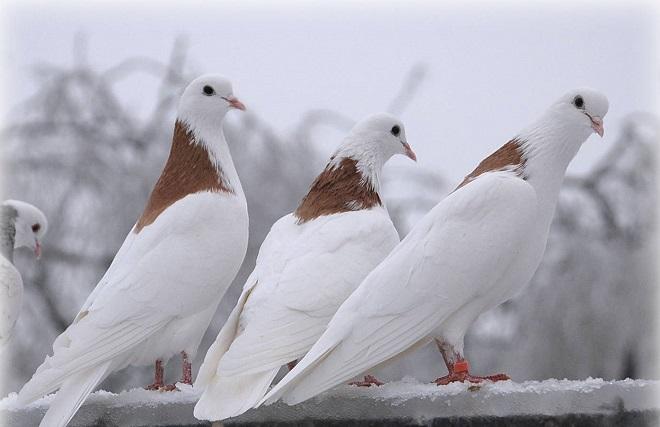 Какие характеристики имеют голуби гривуны?