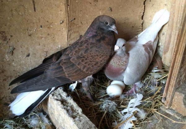 Как размножаются голуби?