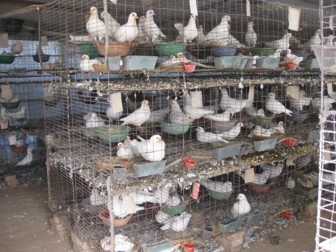 Особенности разведения голубей