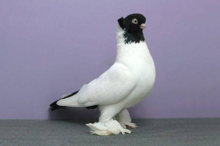 Какие породы голубей самые красивые?