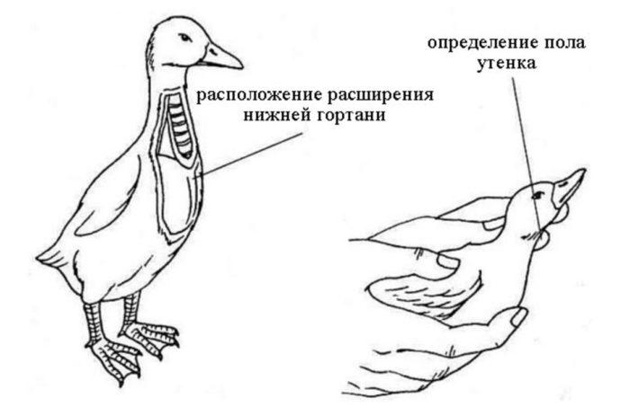 Как отличить утку от селезня?