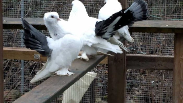 На какие группы разделяются статные голуби?