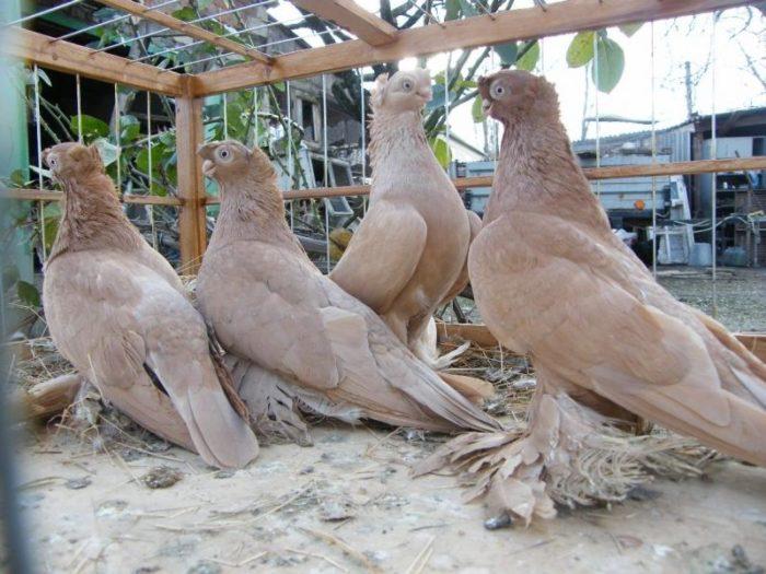 Какие разновидности имеют узбекские голуби?