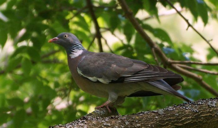 Особенности диких голубей вяхирь