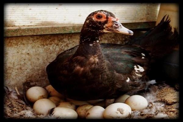 Какие свойства имеются у яйца утки?