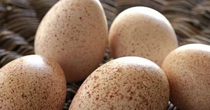 Индюшка села на яйца: что делать?