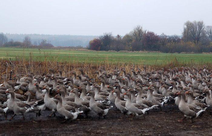Фото гусиной фермы в славянском районе
