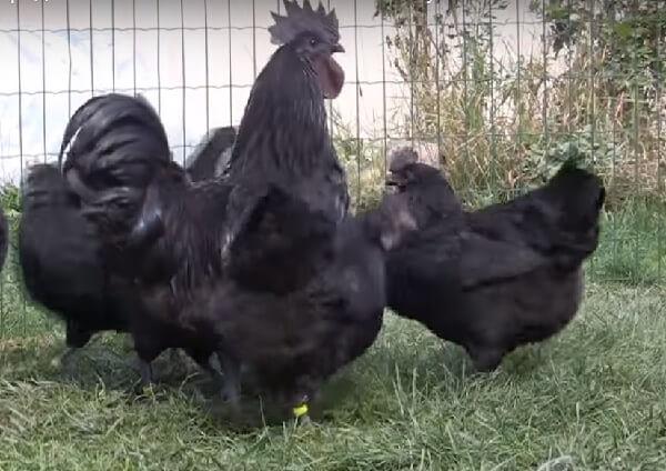Чем питаются куры ухейилюй?