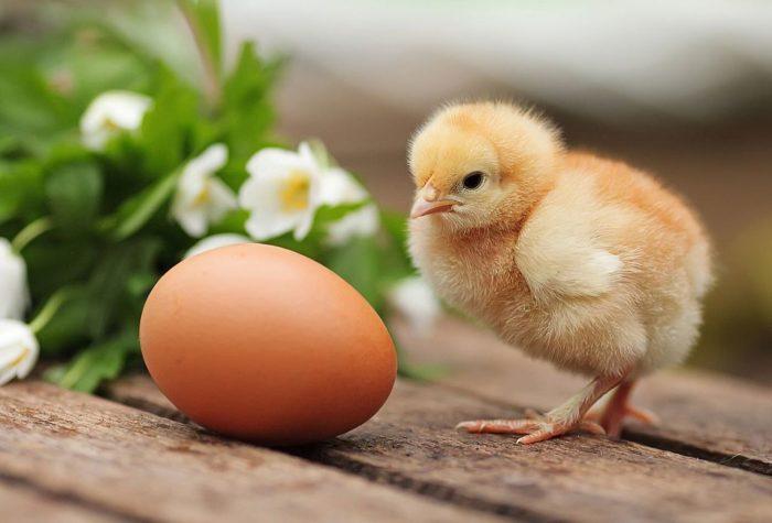 Как происходит развитие цыпленка в яйце?