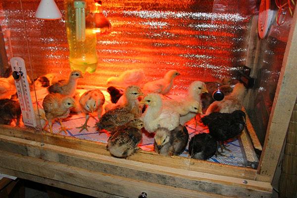 Какая нормальная температура для цыплят?