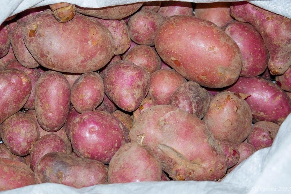 свадебная картофель моцарт описание сорта фото отзывы сочетание