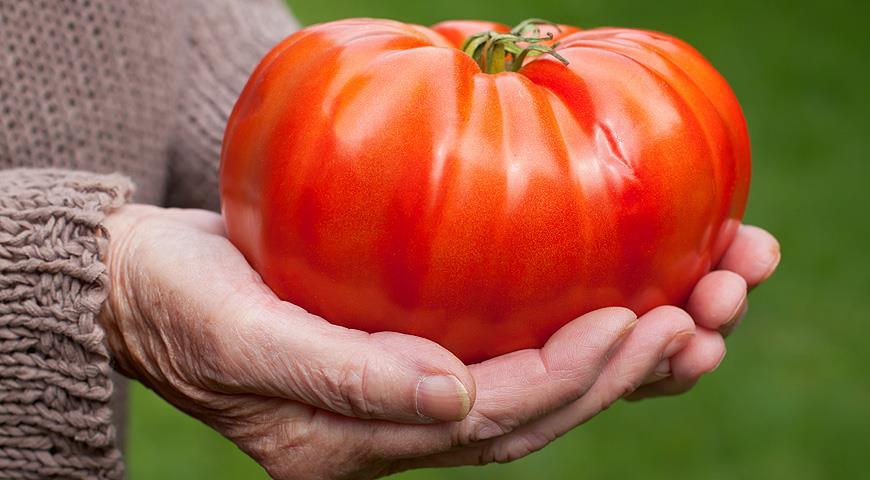крупноплодные помидоры для теплиц