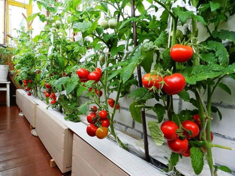 выращивание помидоров на балконе начиная с рассады
