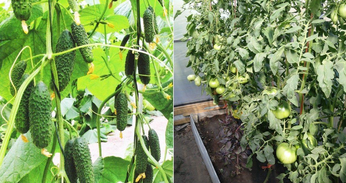 рассада огурцов и помидоров в теплице